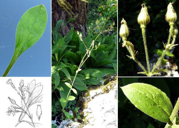 Silene viridiflora L.