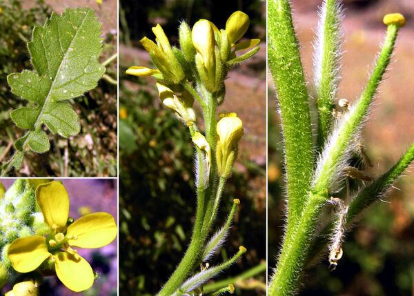 Sinapis pubescens L. subsp. pubescens