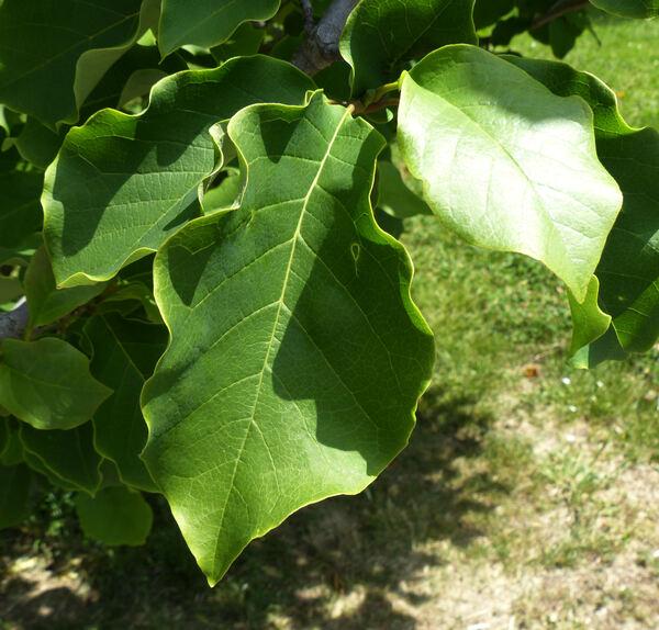 Magnolia liliiflora Desr. 'Nigra'