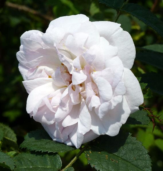 Rosa 'Manning's Blush'