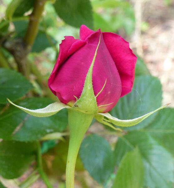 Rosa 'Roi de Siam'