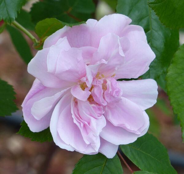 Rosa 'Bengale Cramoisi'