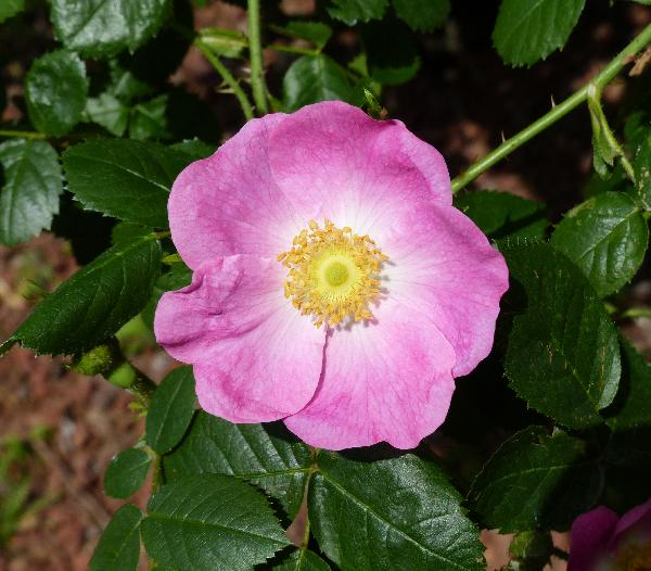 Rosa 'Bradwardine'