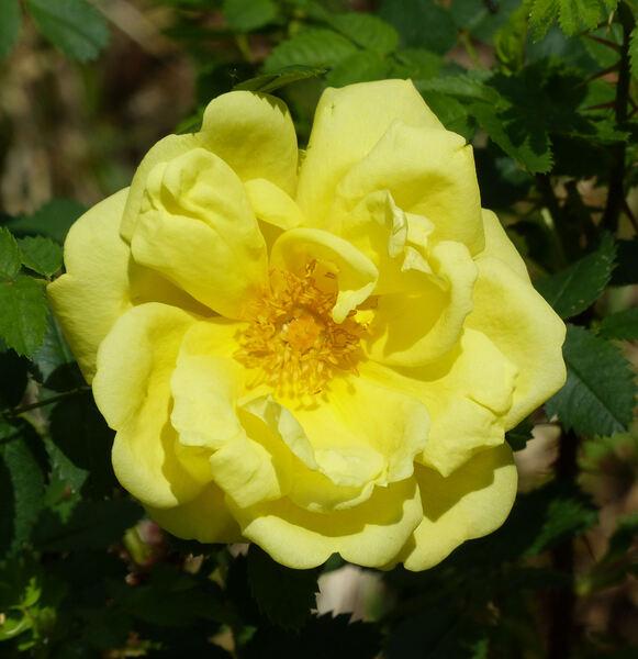 Rosa 'Old Yellow Scotch'