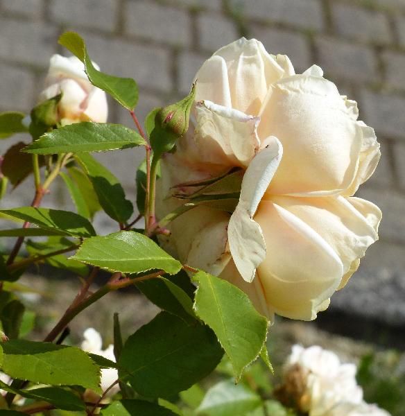 Rosa 'Rêve d'Or'