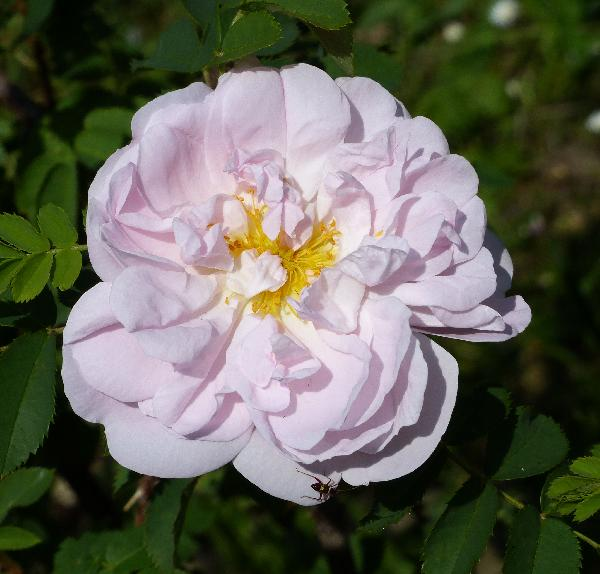 Rosa 'Stanwell Perpetual'