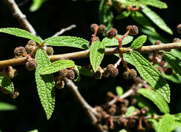 Debregeasia orientalis C.J.Chen