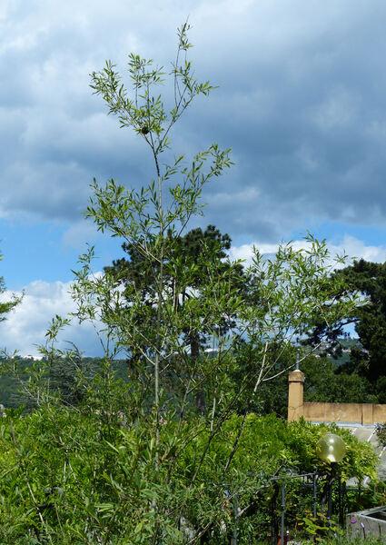 Salix purpurea L. subsp. purpurea
