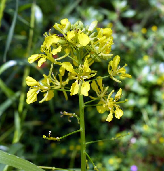Erucastrum nasturtiifolium (Poir.) O.E.Schulz subsp. nasturtiifolium