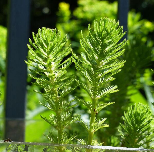 Myriophyllum aquaticum (Vell.) Verdc.