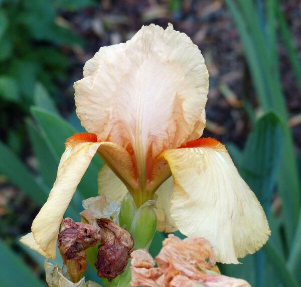 Iris 'Pink Horizon'