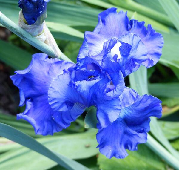 Iris 'St. Louis Blues'