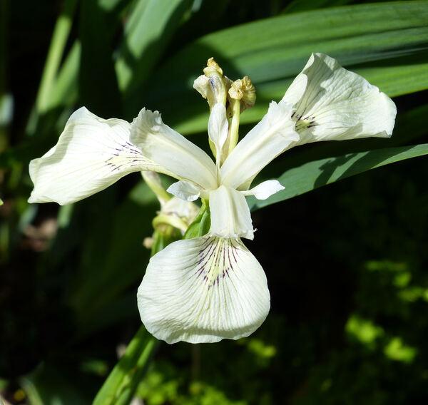 Limniris pseudacorus (L.) Fuss 'Alba'
