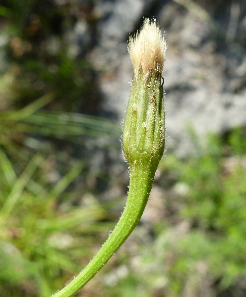 Hypochaeris radicata L.