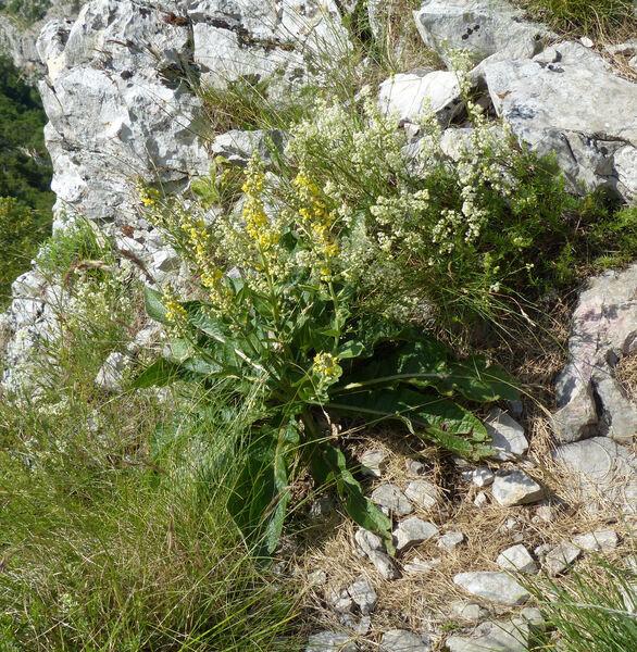 Verbascum lychnitis L.