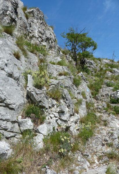 Onosma echioides (L.) L. subsp. dalmatica (Scheele) Peruzzi & N.G.Passal.