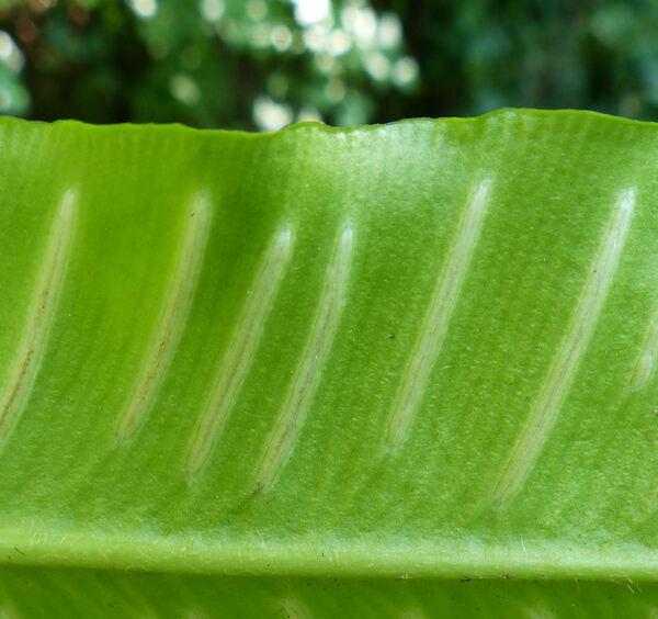 Asplenium scolopendrium L. subsp. scolopendrium