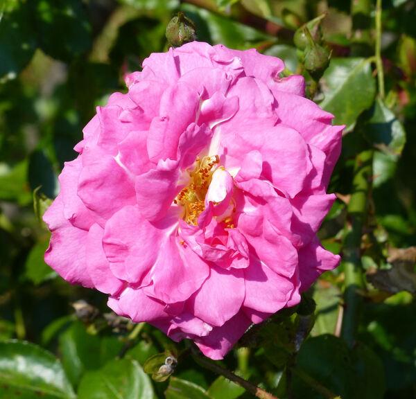 Rosa 'Chaplin's Pink'