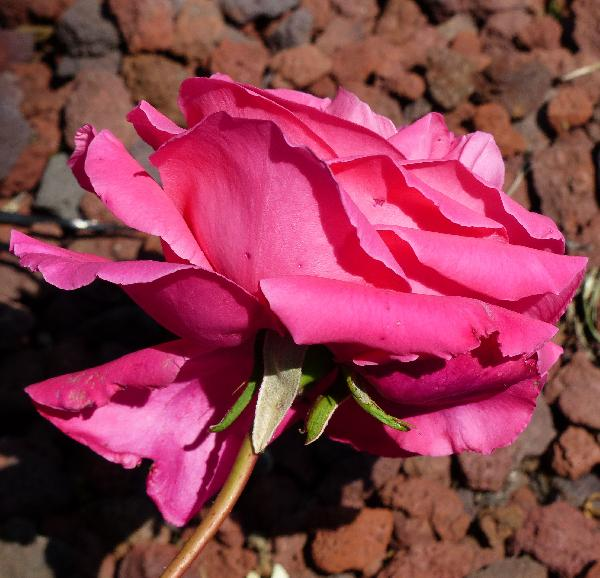 Rosa 'Gloria di Roma'