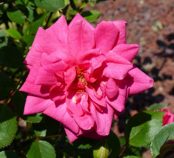 Rosa 'Generosa'