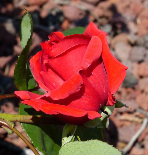 Rosa 'Fedra'