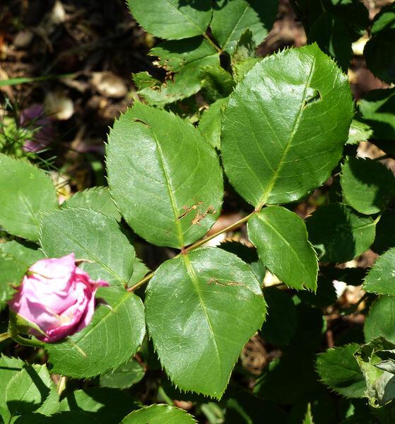 Rosa 'Eva de Grossouvre'