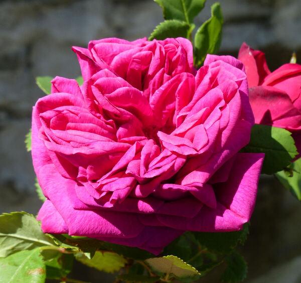 Rosa 'Reine Marguerite d'Italie'