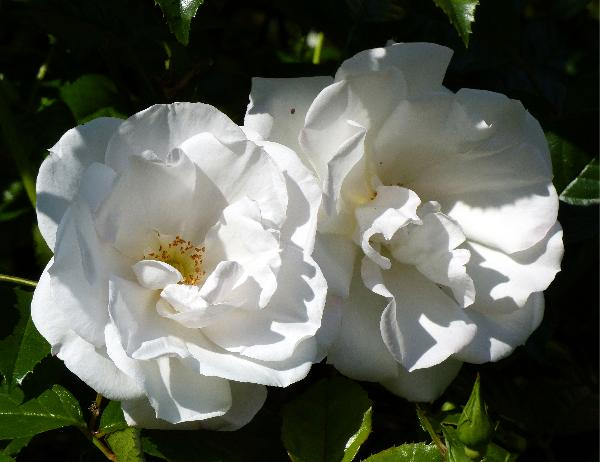 Rosa 'Pearl Drift ®'