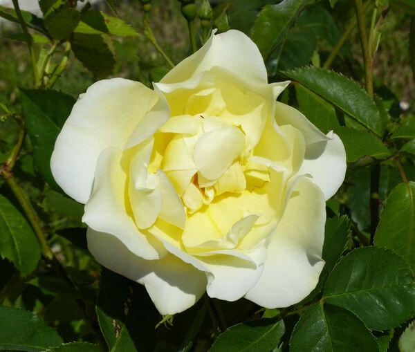 Rosa 'Windrush ®'
