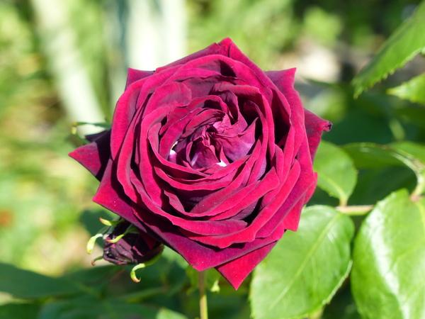 Rosa 'Anne Laferrère'