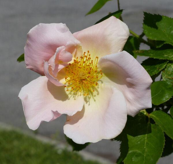 Rosa 'Cupid'