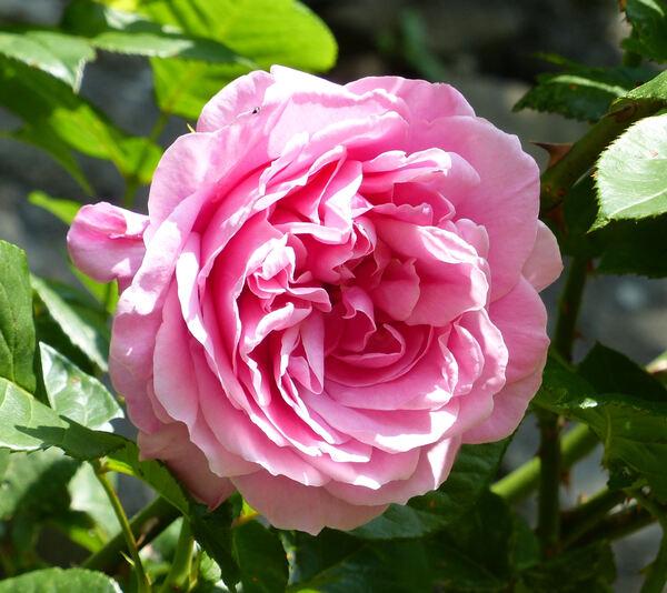 Rosa 'Campanela'