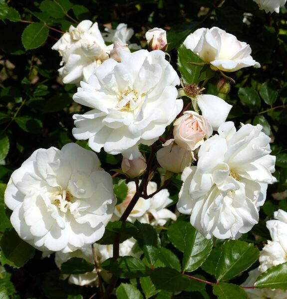 Rosa 'Prosperity'