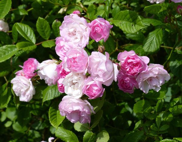 Rosa 'Gela Tepelmann'