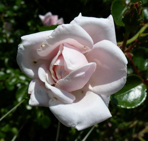 Rosa 'Supercandy'