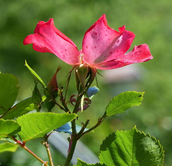 Rosa 'Ciak ®'
