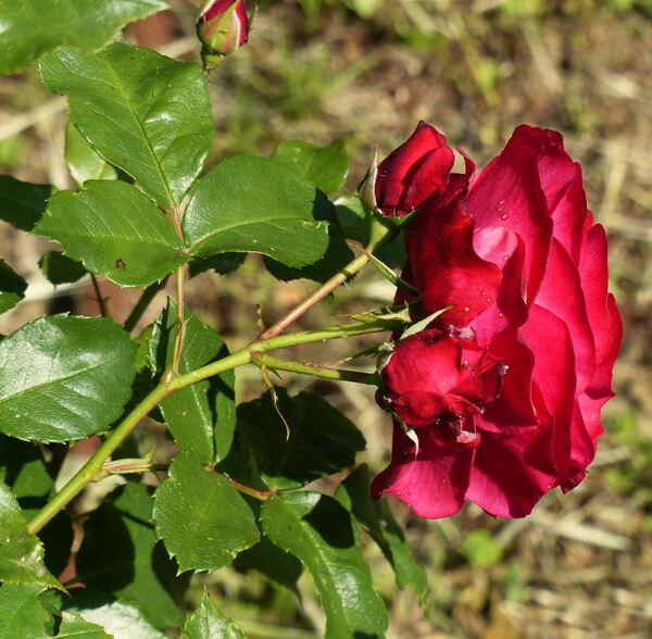 Rosa 'Mona Lisa'