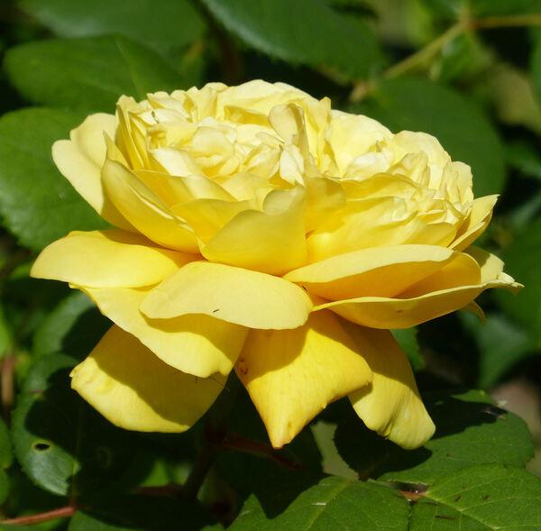 Rosa 'Charles Darwin ®'