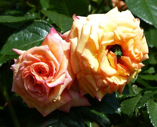 Rosa 'Belvedere ®'