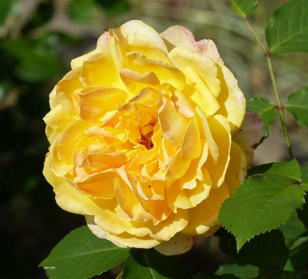 Rosa 'Molineux ®'
