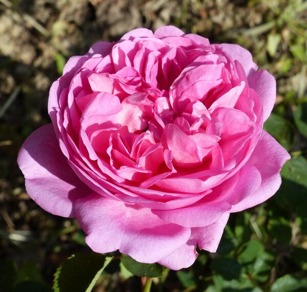 Rosa 'Warwick Castle ®'