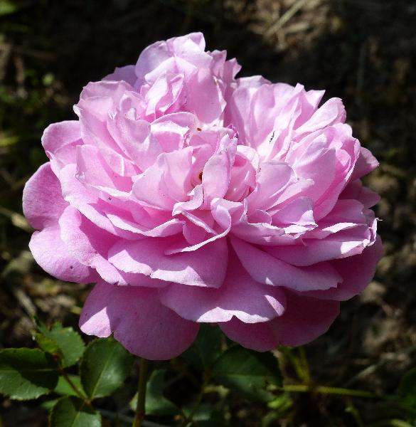 Rosa 'Sir Walter Raleigh ®'