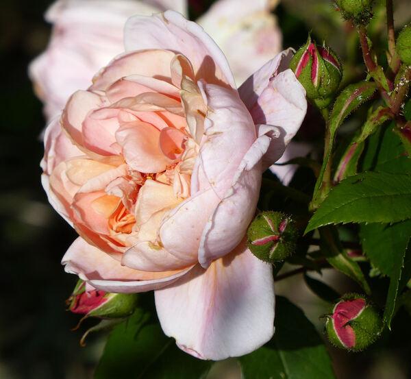 Rosa 'Colette ®'
