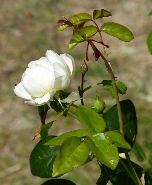 Rosa 'Comte de Champagne ®'
