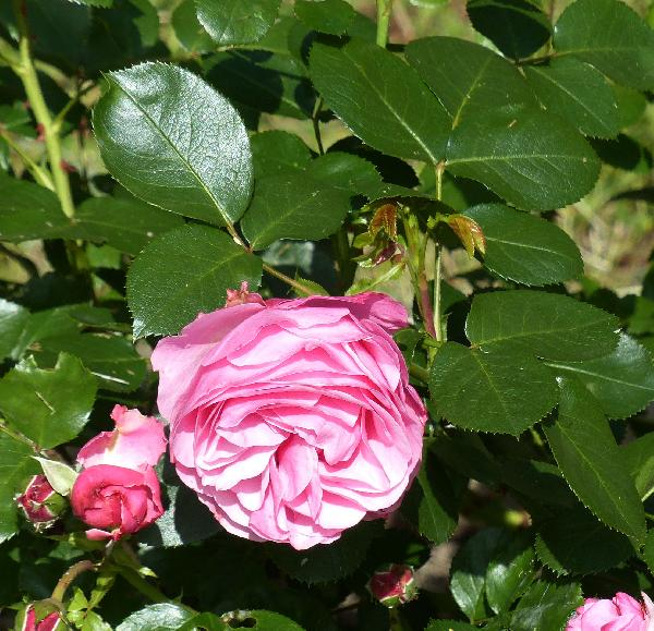 Rosa 'Leonardo da Vinci ®'