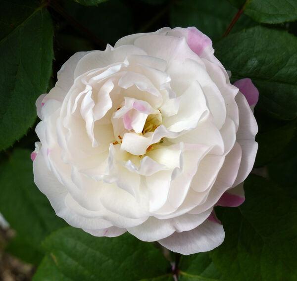 Rosa 'Redouté'