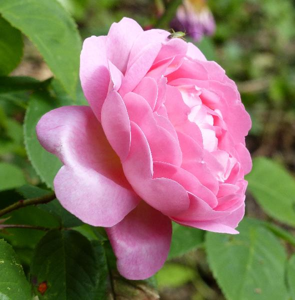Rosa 'Constance Spry ®'