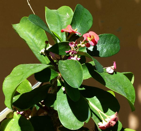 Euphorbia milii Desmoul.