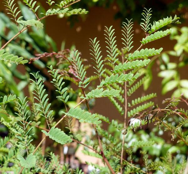 Erythrostemon gilliesii (Wall. ex Hook.) Klotzsch