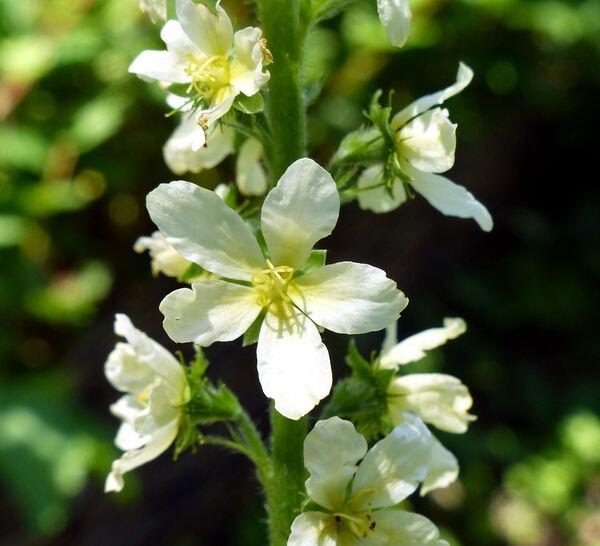 Agrimonia eupatoria L. 'Alba'